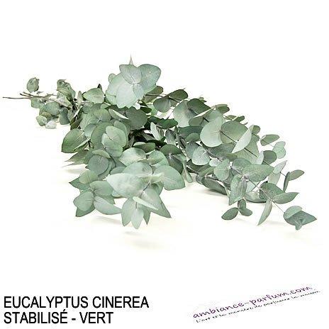EUCALYPTUS CINEREA STABILISÉ - VERT