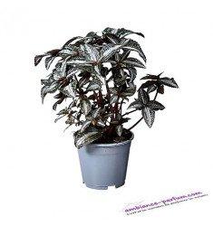 Pilea Spiceana Silver Tree